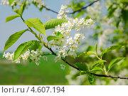 Купить «Ветка цветущей черемухи крупным планом», фото № 4607194, снято 9 мая 2013 г. (c) Ласточкин Евгений / Фотобанк Лори