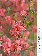 Купить «Цветущая ветка айвы японской (Chaenomeles)», эксклюзивное фото № 4607538, снято 9 мая 2013 г. (c) Svet / Фотобанк Лори