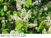 Купить «Черёмуха (Prunus padus) цветёт», фото № 4613126, снято 11 мая 2013 г. (c) Алёшина Оксана / Фотобанк Лори