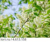 Купить «Цветы черёмухи (Prunus padus)», фото № 4613158, снято 11 мая 2013 г. (c) Алёшина Оксана / Фотобанк Лори
