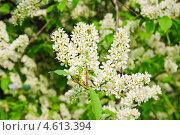 Купить «Цветы черёмухи (Prunus padus)», фото № 4613394, снято 11 мая 2013 г. (c) Алёшина Оксана / Фотобанк Лори