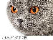 Британская короткошерстная кошка. Стоковое фото, фотограф Петр Малышев / Фотобанк Лори
