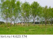 Купить «Сельский пейзаж с березами на фоне современных коттеджей», эксклюзивное фото № 4623174, снято 11 мая 2013 г. (c) Елена Коромыслова / Фотобанк Лори
