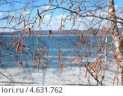 Ветки березы. Стоковое фото, фотограф Виталий Горелов / Фотобанк Лори