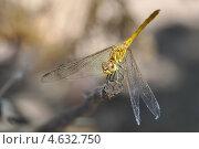 Стрекоза. Стоковое фото, фотограф Дина Евсеева / Фотобанк Лори
