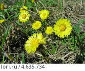 Купить «Цветы мать-и-мачеха. (Tussilago farfara L)», эксклюзивное фото № 4635734, снято 29 апреля 2013 г. (c) lana1501 / Фотобанк Лори