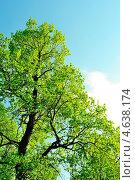 Корона дуба в мае с молодой листвой. Стоковое фото, фотограф Людмила Герасимова / Фотобанк Лори