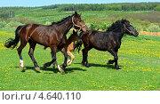 Купить «Лошади и жеребенок на поле», фото № 4640110, снято 7 мая 2013 г. (c) Эдуард Кислинский / Фотобанк Лори