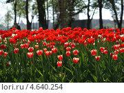 Красные тюльпаны. Стоковое фото, фотограф Евгений Кулагин / Фотобанк Лори