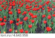Красные тюльпаны. Стоковое фото, фотограф Марина Разгулина / Фотобанк Лори