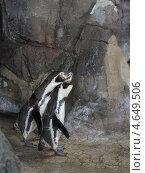 Пингвины в зоопарке. Стоковое фото, фотограф Ксения Козырь / Фотобанк Лори