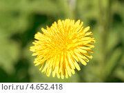 Купить «Желтый одуванчик», фото № 4652418, снято 21 мая 2013 г. (c) Александр Хорхордин / Фотобанк Лори