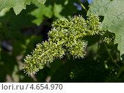 Цветущий виноград. Стоковое фото, фотограф Пётр Квашин / Фотобанк Лори