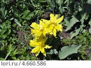 Бархатные тюльпаны. Стоковое фото, фотограф Гирев Николай Михайлович / Фотобанк Лори