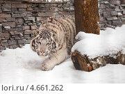 Белый тигр. Стоковое фото, фотограф Александр Жильцов / Фотобанк Лори