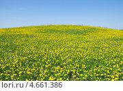 Купить «Поле цветущих желтых одуванчиков на фоне голубого неба, фон», эксклюзивное фото № 4661386, снято 16 мая 2013 г. (c) Елена Коромыслова / Фотобанк Лори