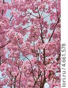 Купить «Сакура в цвету», фото № 4661578, снято 1 апреля 2013 г. (c) Демчишина Ольга / Фотобанк Лори