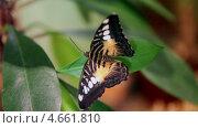 Купить «Красивая бабочка машет крыльями, сидя на зеленых листьях», видеоролик № 4661810, снято 24 мая 2013 г. (c) Кекяляйнен Андрей / Фотобанк Лори