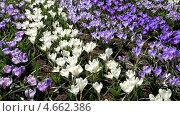 Купить «Белые и фиолетовые крокусы или шафраны на ветру в весеннем парке (лат. Crocus)», видеоролик № 4662386, снято 12 апреля 2013 г. (c) Виктория Катьянова / Фотобанк Лори