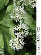Купить «Цветение черемши (Аllium ursinum)», эксклюзивное фото № 4665722, снято 26 мая 2013 г. (c) Шуньята Антонова / Фотобанк Лори