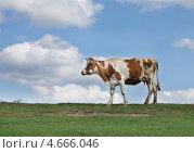 Купить «Корова на фоне неба с облаками», эксклюзивное фото № 4666046, снято 12 мая 2013 г. (c) Dmitry29 / Фотобанк Лори