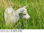 Купить «Белый козленок в траве», фото № 4669442, снято 23 мая 2013 г. (c) Nina Dudka / Фотобанк Лори