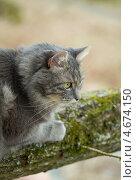 Купить «Серый сибирский кот сидит на бревне», фото № 4674150, снято 4 мая 2013 г. (c) Сурикова Ирина / Фотобанк Лори