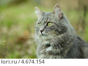 Купить «Серый сибирский кот в лесу», фото № 4674154, снято 4 мая 2013 г. (c) Сурикова Ирина / Фотобанк Лори