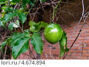 Плод маракуйи на ветке. Стоковое фото, фотограф Nikolay Grachev / Фотобанк Лори