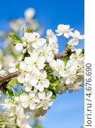 Купить «Цветение вишни», фото № 4676690, снято 6 августа 2010 г. (c) Татьяна Пинчук / Фотобанк Лори
