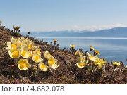 Прострел раскрытый желтый на склонах прибайкальских гор весной, фото № 4682078, снято 10 мая 2013 г. (c) Ольга Литвинцева / Фотобанк Лори