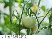 Купить «Завязь плода томата», фото № 4685910, снято 30 мая 2013 г. (c) Иван Черненко / Фотобанк Лори