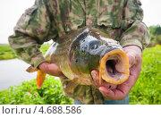Купить «Только что пойманный крупный сазан в руках мужчины», эксклюзивное фото № 4688586, снято 31 мая 2013 г. (c) Игорь Низов / Фотобанк Лори