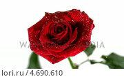 Купить «Rain drops falling on red rose», видеоролик № 4690610, снято 22 июля 2018 г. (c) Wavebreak Media / Фотобанк Лори