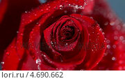 Купить «Close up of a raindrop falling on a red rose», видеоролик № 4690662, снято 22 июля 2018 г. (c) Wavebreak Media / Фотобанк Лори
