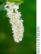 Цветы черемухи. Стоковое фото, фотограф Alexandr Banshikov / Фотобанк Лори
