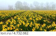 Купить «Красивый весенний пейзаж с цветущими нарциссами и силуэтами деревьев в тумане», видеоролик № 4732082, снято 11 апреля 2013 г. (c) Виктория Катьянова / Фотобанк Лори