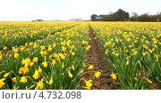 Купить «Сельская Голландия весной. Желтые нарциссы в поле после дождя (лат. Narcissus)», видеоролик № 4732098, снято 10 апреля 2013 г. (c) Виктория Катьянова / Фотобанк Лори