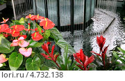 Купить «Цветы антуриума (лат. Anthurium) и гузмании (лат. Guzmania) у фонтана в оранжерее парка Кёкенхоф, Голландия», видеоролик № 4732138, снято 5 апреля 2013 г. (c) Виктория Катьянова / Фотобанк Лори