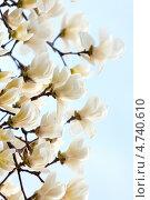 Купить «Нежные белые цветы магнолии на голубом фоне ( Magnolia sieboldii ). Малая глубина резкости.», фото № 4740610, снято 15 апреля 2013 г. (c) Ольга Липунова / Фотобанк Лори