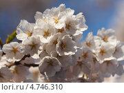 Купить «Сакура. Цветы крупным планом.», фото № 4746310, снято 12 апреля 2013 г. (c) Ольга Липунова / Фотобанк Лори