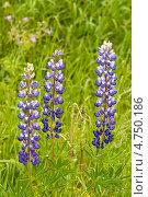 Три цветка фиолетового люпина на фоне зелёной травы. Стоковое фото, фотограф Alioshin.aleksey / Фотобанк Лори