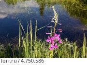 Цветок иван-чая на болоте. Стоковое фото, фотограф Алексей Егоров / Фотобанк Лори