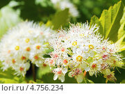 Цветущий пузыреплодник калинолистный Лютеус (Physocarpus opulifolius Luteus) Стоковое фото, фотограф Galina Barbieri / Фотобанк Лори