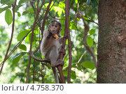 Купить «Мартышка на лиане. Джунгли, Индия, Гоа», фото № 4758370, снято 26 марта 2013 г. (c) Александр Овчинников / Фотобанк Лори