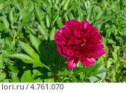 Купить «Красный пион (Paeonia)», эксклюзивное фото № 4761070, снято 5 июня 2013 г. (c) Елена Коромыслова / Фотобанк Лори