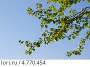 Листья березы на фоне голубого неба. Стоковое фото, фотограф Pavel Kozlovsky / Фотобанк Лори