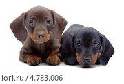 Купить «Два милых щенка таксы на белом фоне», фото № 4783006, снято 21 августа 2019 г. (c) Станислав Толубаев / Фотобанк Лори