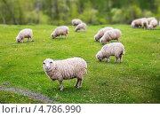 Купить «Стадо овец на зеленом лугу», фото № 4786990, снято 19 мая 2013 г. (c) Типляшина Евгения / Фотобанк Лори