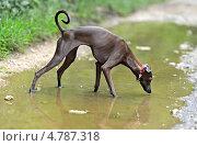 Купить «Собака породы левретка пьет воду из озера в парке», фото № 4787318, снято 11 июня 2013 г. (c) Эдуард Кислинский / Фотобанк Лори